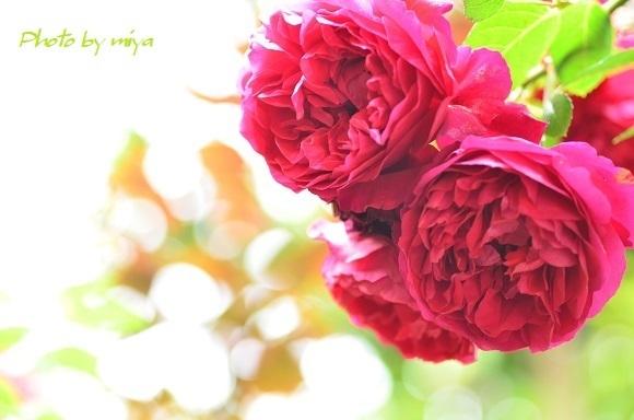 薔薇3215.jpg